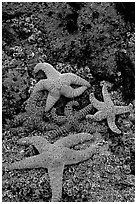 Seastars on rocks at low tide. Olympic National Park, Washington, USA. (black and white)