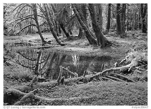 Pond in lush rainforest. Olympic National Park (black and white)