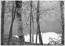 Birch trees with textured trunks and green leaves on shore of Crescent Lake. Olympic National Park ( black and white)