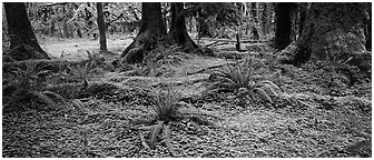 Rainforest forest floor. Olympic National Park (Panoramic black and white)