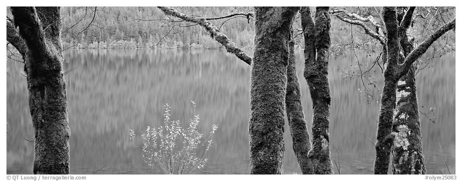 Mossy trees and turquoise lake. Olympic National Park (black and white)