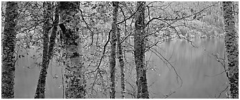 Tranquil trees and Crescent Lake. Olympic National Park (Panoramic black and white)