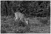 Deer grazing amongst lupine. Olympic National Park ( black and white)