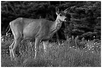 Deer in meadow with lupine. Olympic National Park ( black and white)