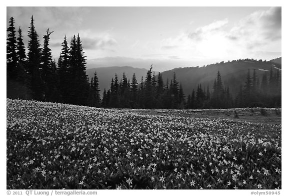 Avalanche lilies at sunset. Olympic National Park (black and white)