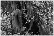 Hall of Mosses,  Hoh rain forest. Olympic National Park ( black and white)