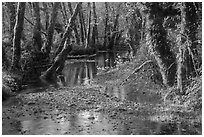 Creek, Maple Glades, Quinault. Olympic National Park ( black and white)