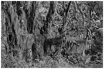 Draping Selaginella moss over big leaf maple, Maple Glades, Quinault. Olympic National Park ( black and white)