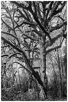 Large bigleaf maple tree. Olympic National Park ( black and white)