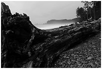 Driftwood tree at dusk, Rialto Beach. Olympic National Park ( black and white)