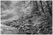 Trees in autumn foliage near Sol Duc River confluence. Olympic National Park ( black and white)