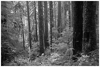 Douglas fir and hemlock forest, Sol Duc valley. Olympic National Park ( black and white)