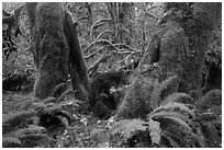 Ferns and moss covered maples, Hall of Mosses, Hoh Rain forest. Olympic National Park ( black and white)