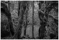 Hoh Rain Forest in autumn. Olympic National Park ( black and white)