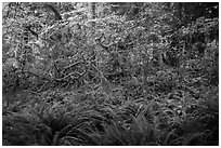 Ferns and maples in autumn, Hoh Rain forest. Olympic National Park ( black and white)