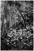 Hanging mosses and maple leaves, Hoh Rain forest. Olympic National Park ( black and white)