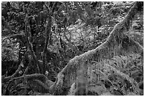 Branch with hanging mosses and autumn colors in Hoh Rainforest. Olympic National Park ( black and white)