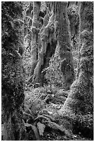 Moss-covered maples in autumn, Hall of Mosses. Olympic National Park ( black and white)