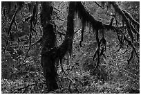 Moss-covered trees and rain forest with autumn foliage. Olympic National Park ( black and white)