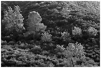 Trees on rolling chaparral shrubs. Pinnacles National Park, California, USA. (black and white)