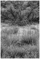 Frozen grasses and shrubs. Pinnacles National Park, California, USA. (black and white)