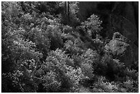 Slope with blooming shrubs in spring. Pinnacles National Park ( black and white)