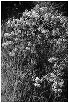 Close-up of spring blooms and grasses. Pinnacles National Park ( black and white)