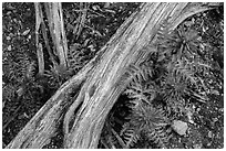 Ground close-up with fallen branch and Indian Warriors. Pinnacles National Park ( black and white)