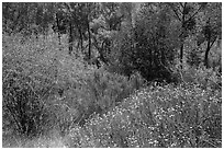 Wildflowers, shrubs, cottonwoods, in the spring. Pinnacles National Park, California, USA. (black and white)