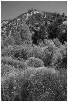 Wildflowers, trees, and hills in the hill. Pinnacles National Park ( black and white)
