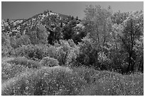 Wildflowers and riparian habitat in the spring. Pinnacles National Park ( black and white)