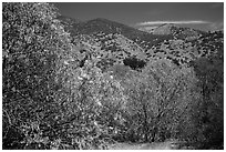 Trees with blooms and old leaves. Pinnacles National Park ( black and white)