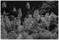 Evergreens and deciduous trees in fall foliage along Bear Gulch. Pinnacles National Park ( black and white)