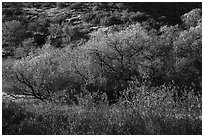 Fall foliage on creek and hill near Balconies. Pinnacles National Park ( black and white)