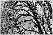 Moss-covered arching tree. Redwood National Park, California, USA. (black and white)