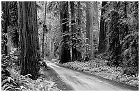 Gravel road, Howland Hill, Jedediah Smith Redwoods. Redwood National Park, California, USA. (black and white)