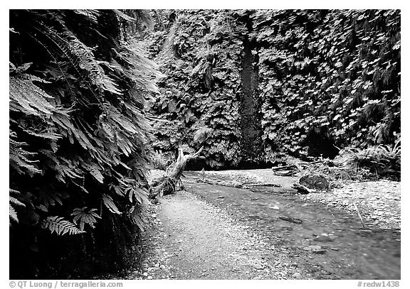 Fern Canyon with Fern-covered walls, Prairie Creek Redwoods State Park. Redwood National Park (black and white)