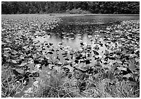 Pond with water plants. Redwood National Park ( black and white)
