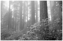 Rododendrons, tall coast redwoods, and fog, Del Norte Redwoods State Park. Redwood National Park ( black and white)