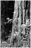 Redwood trunk and rododendron. Redwood National Park ( black and white)