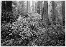 Rododendrons in bloom in redwood grove, Del Norte Redwoods State Park. Redwood National Park ( black and white)
