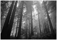 Tall coast redwood trees (Sequoia sempervirens) in fog, Lady Bird Johnson Grove. Redwood National Park ( black and white)