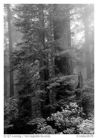 Large redwood trees in fog, with rododendrons at  base, Del Norte Redwoods State Park. Redwood National Park (black and white)