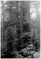 Large redwood trees in fog, with rododendrons at  base, Del Norte. Redwood National Park, California, USA. (black and white)