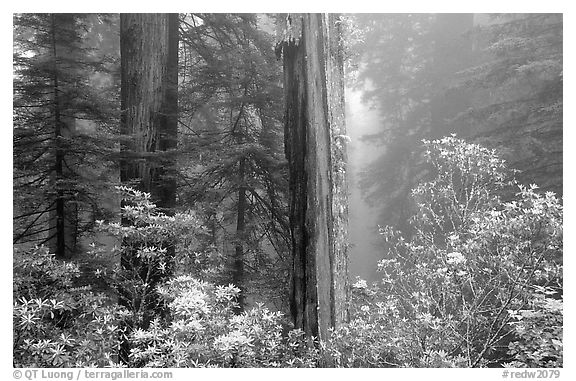Rododendrons and redwood grove in fog, Del Norte. Redwood National Park, California, USA.