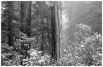 Rododendrons and redwood grove in fog, Del Norte Redwoods State Park. Redwood National Park ( black and white)