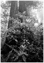 Rododendrons at  base of twin redwood trees, Del Norte. Redwood National Park, California, USA. (black and white)