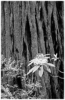 Rhodoendron flower and redwood trunk close-up. Redwood National Park, California, USA. (black and white)