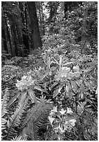 Rhodoendron flowers after  rain, Del Norte. Redwood National Park, California, USA. (black and white)