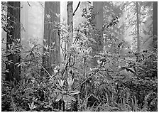 Rododendrons, redwoods, and fog, Lady Bird Johnson Grove. Redwood National Park, California, USA. (black and white)